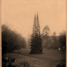 Парк Монрепо двухвершинная пихта