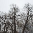 Усадьба Грешнево Н.А. Некрасова, старые липы в парке