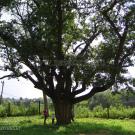 Усадьба Кривякино, дуб перед домом. Фото Натальи Бондаревой 2004 г.
