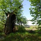 Усадьба Кузьминское, старое дерево в парке