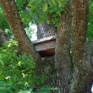 Усадьба Михайловское Ганнибалов, старый дуб
