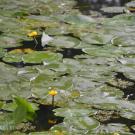 Музей-усадьба Ясная поляна, кувшинки на Большом пруду