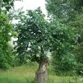 Усадьба Селихово, яблоневый сад